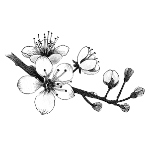 Tumblr at getdrawings com. Blossom drawing cherry clip freeuse library
