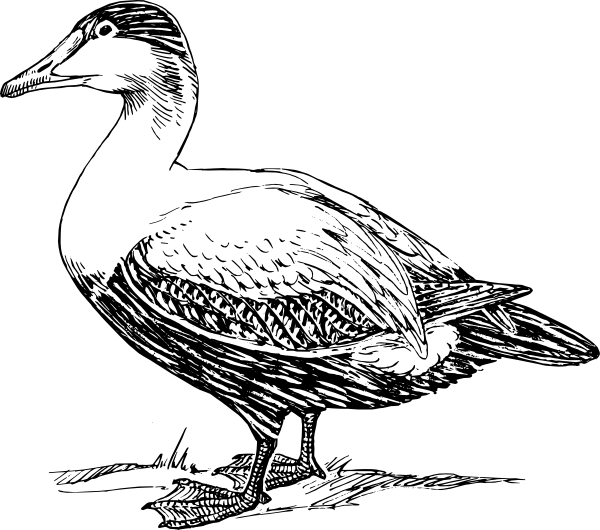 Drawing ducks goose. Elder duck clip art