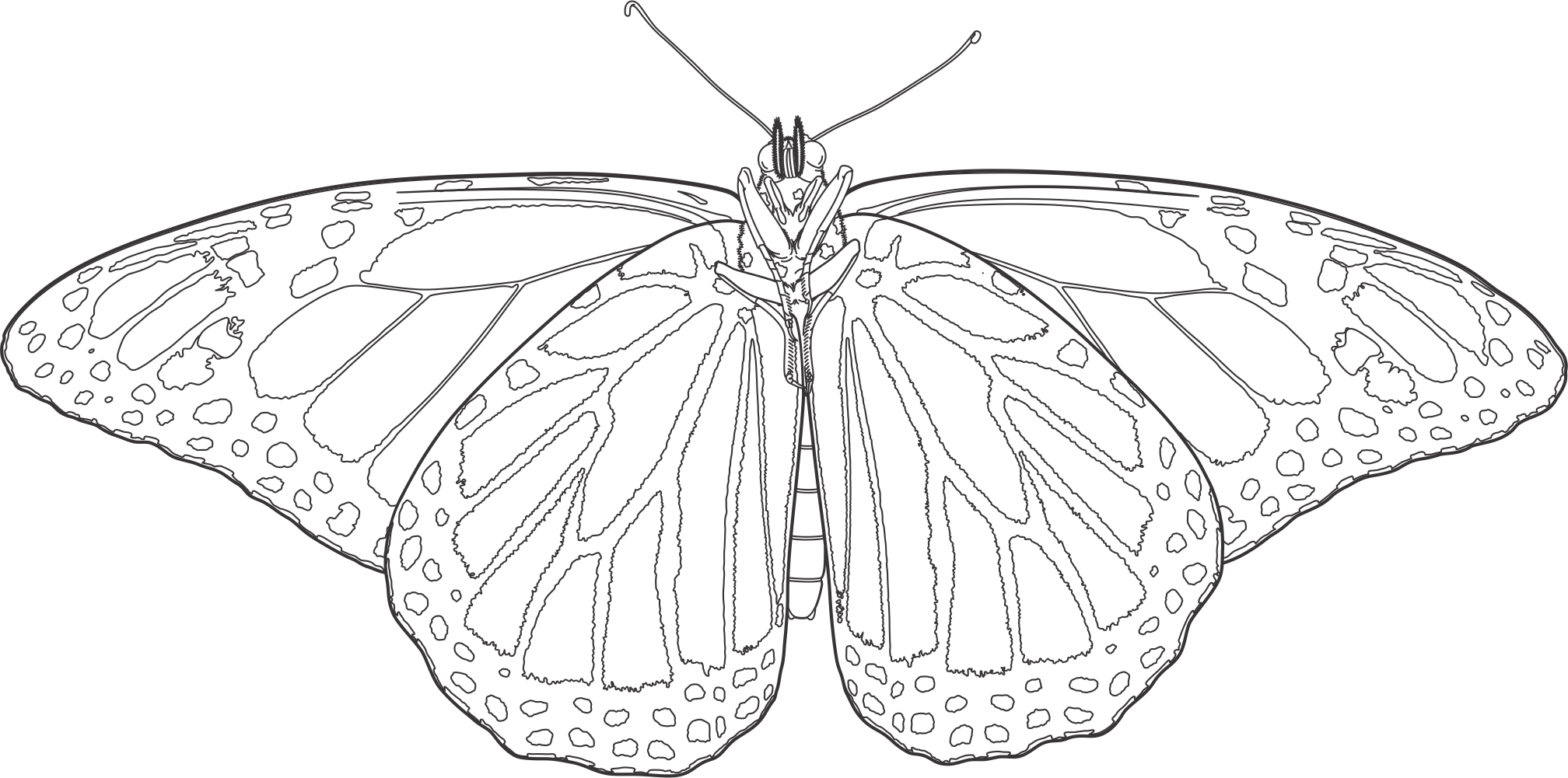 Drawing insects butterfly. Evolution for free