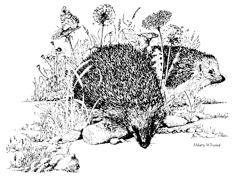 Drawing facts. The basic british hedgehog