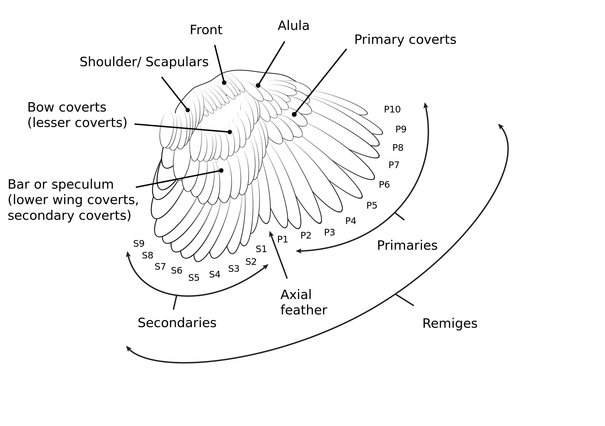Drawing feather diagram. How to id a