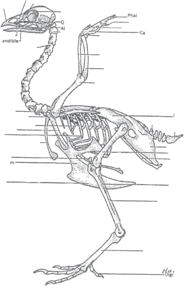 Drawing feather diagram. External anatomy tracts skeleton