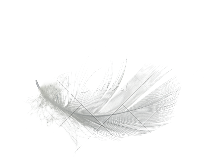 Transparent feathers lightweight. White feather isolated photos