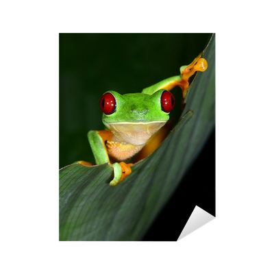 Drawing frogs leaf. Red eyed tree frog