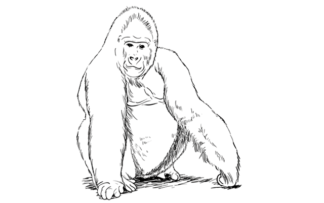 Drawing gorilla sketch. How to draw a