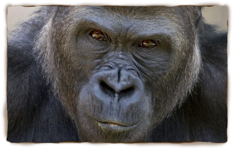Drawing gorilla western lowland. Beautiful and proud look