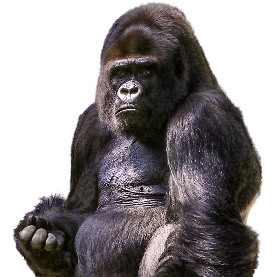 Drawing gorilla western lowland. Laminated poster zoo png