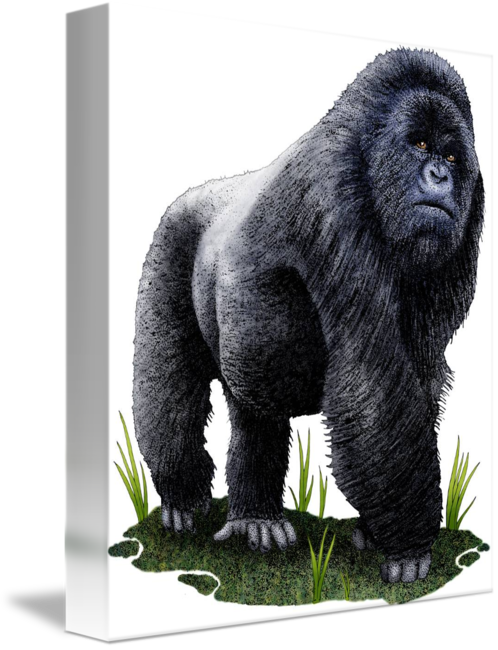 Drawing gorilla western lowland. Mountain by roger hall