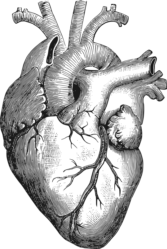 Drawing graphics. Anatomical heart by gustavorezende