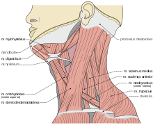 Neck clipart body part. Wikipedia muscles in the