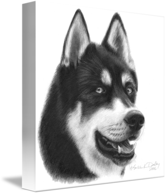 Drawing husky colored pencil. Siberian by susan donley