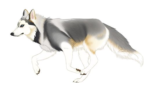 Drawing husky full body. Commission apollo wolf sketch