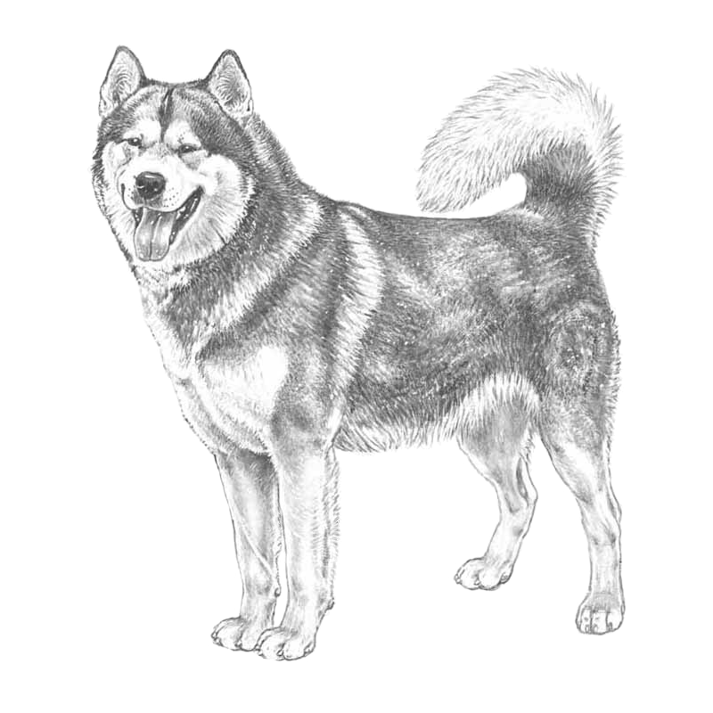 Drawing husky malamute. Brachycephalic resources external links