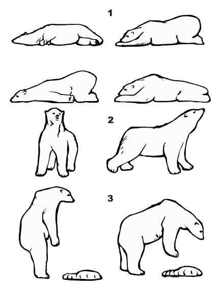 Drawing icebreakers polar bear. Wikiwand some characteristic postures