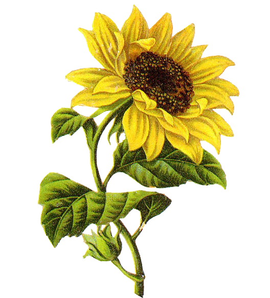 Drawing illustration sunflower. Common sketch transprent png