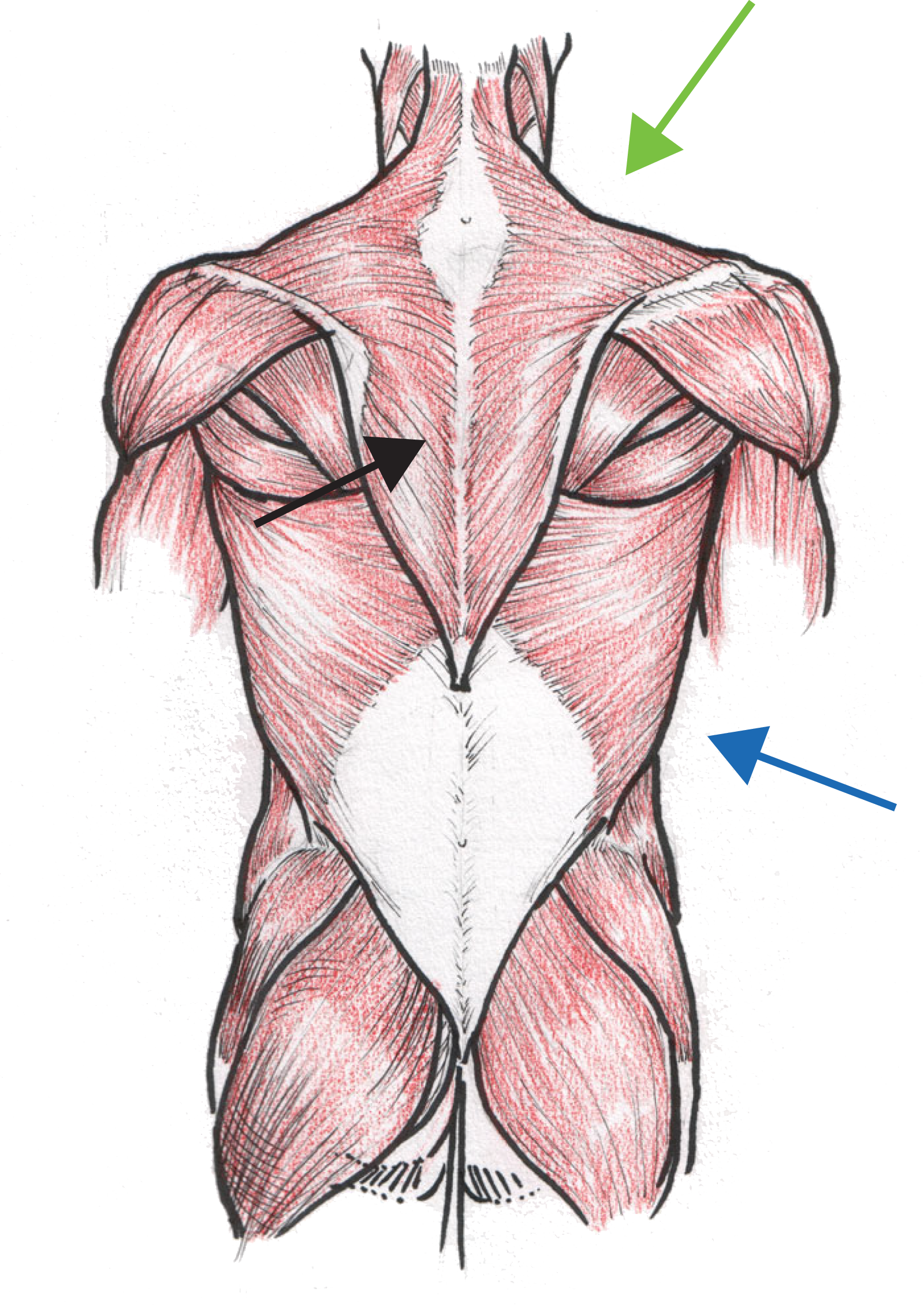 Biceps drawing human muscle. Anatomical illustrations of groups