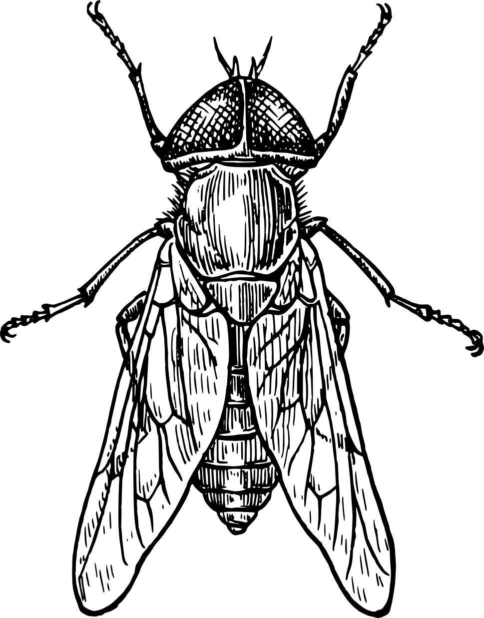 Drosophila drawing realistic