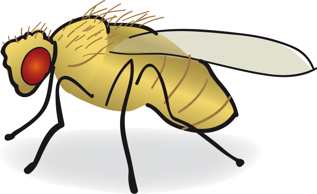 Drawing insects fruit fly. Common clip art transprent