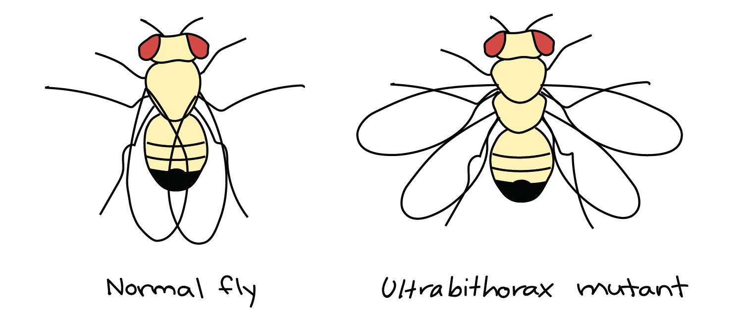 Drosophila drawing diagram. Homeotic genes article khan