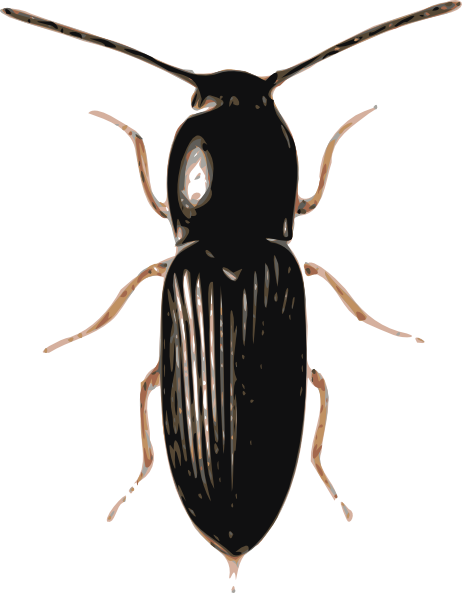Drawing insects ground beetle. Insect cardiophorus clip art
