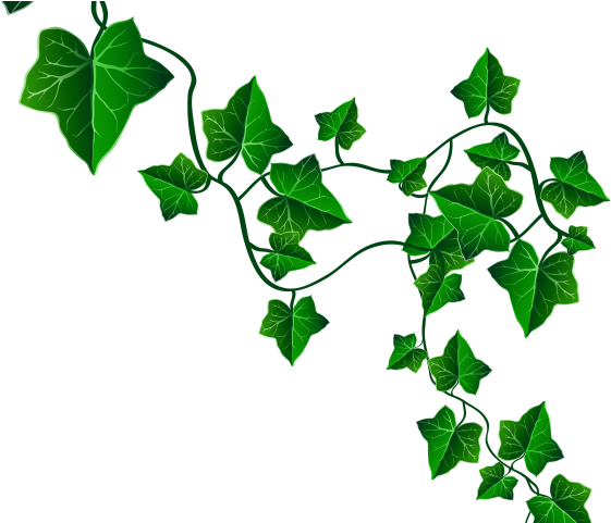 Drawing ivy. Download hd vine clipart