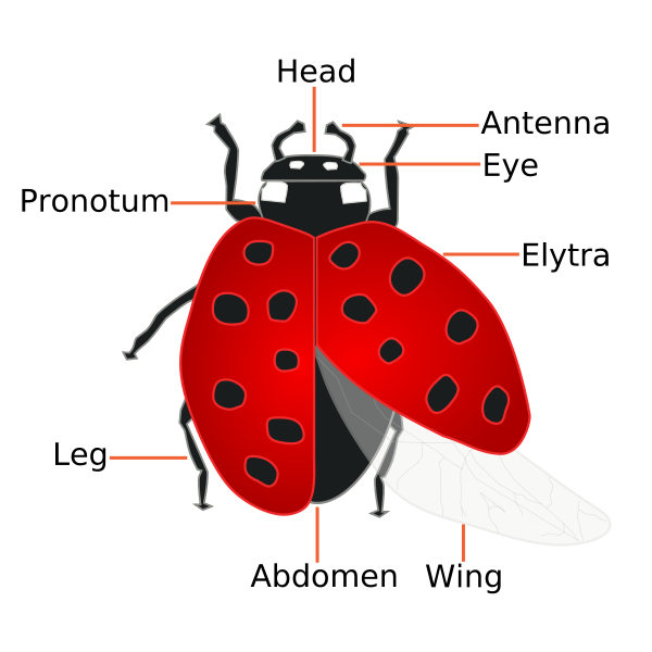 Drawing ladybug quick and easy. Fun facts the can