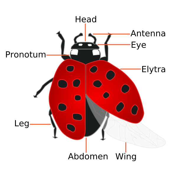 Drawing ladybug spot. Weekend science fun ladybugs