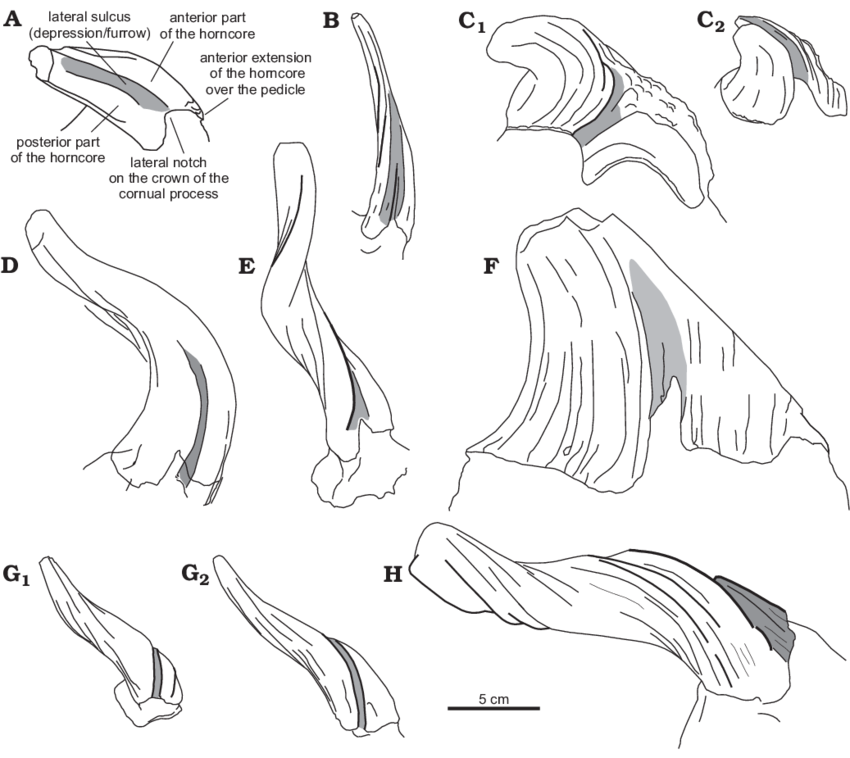 Drawing leg depression. Drawings of the horncores