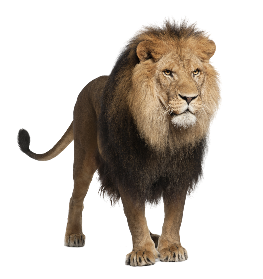 Drawing lions barbary lion. Cats land mammals animals