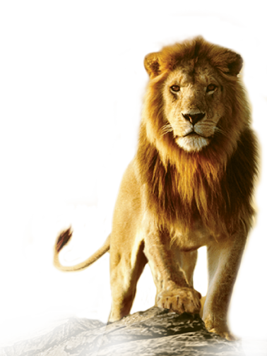 Drawing lions barbary lion. Different types of