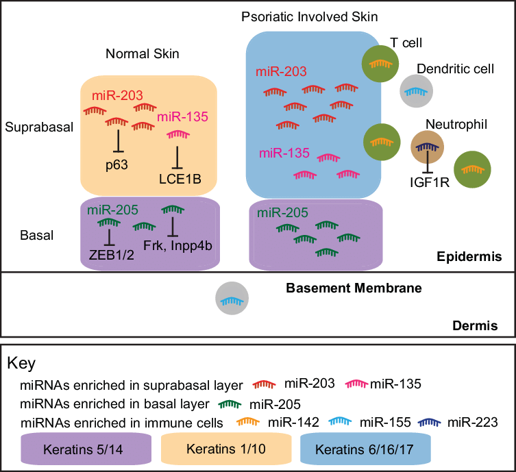 Drawing marker skin. Localization of mirnas in