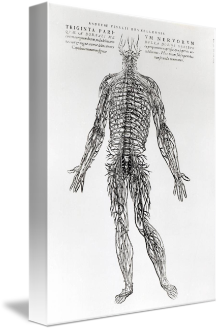 Academic drawing anatomy. Anatomical of the human