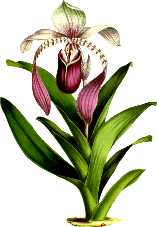 Drawing orchid botanical. Botany illustration the orchidaceae