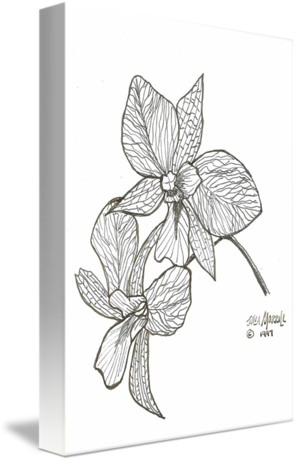 Drawing orchid blooming. By julia morrill