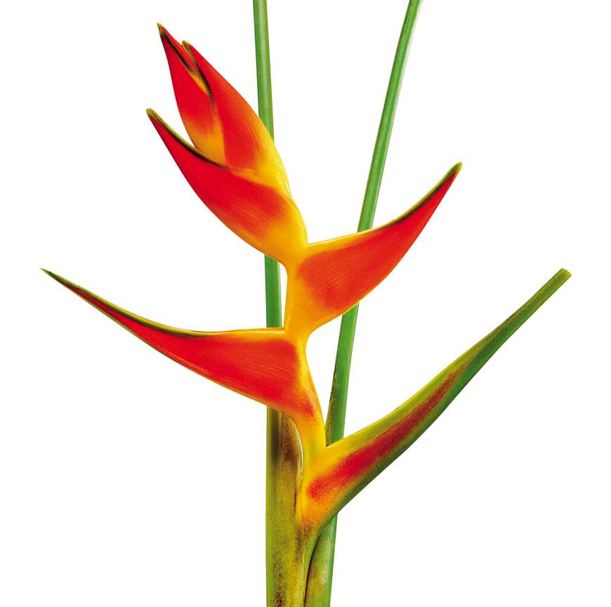 Drawing orchid flower colombian. Heliconia orthotricha mostaza flores