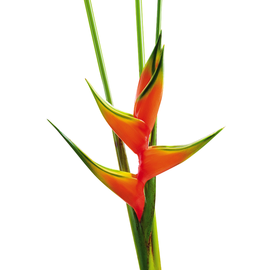 Drawing orchid flower colombian. Heliconia bihai claw salmon