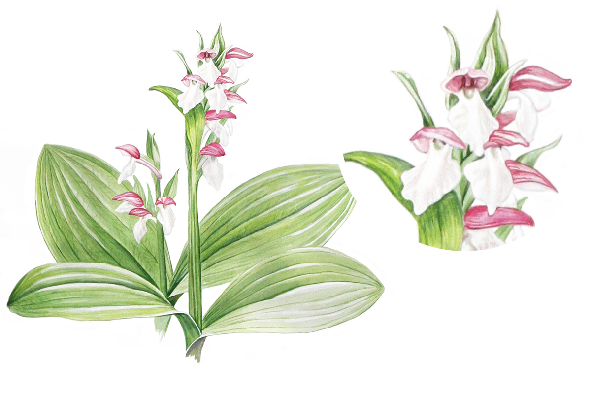 Drawing orchid scientific. Featured botanical illustration galearis