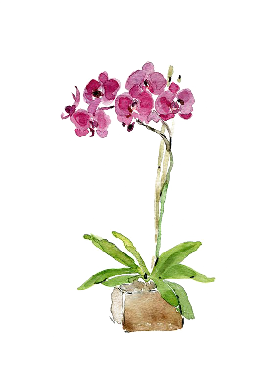 Drawing orchid watercolour pencil. Collection of free orchids