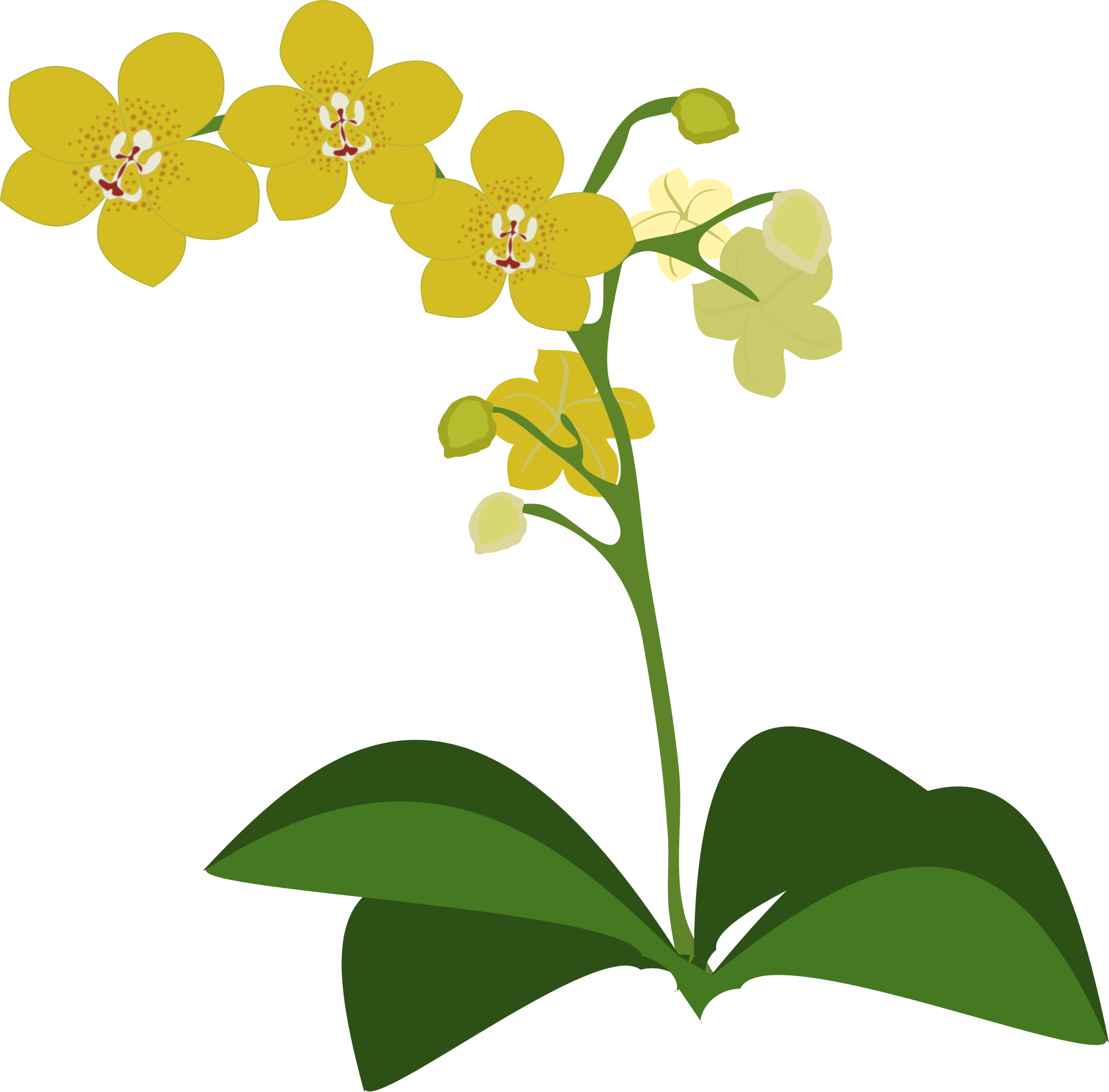 Drawing orchid yellow. Graphic of a plant