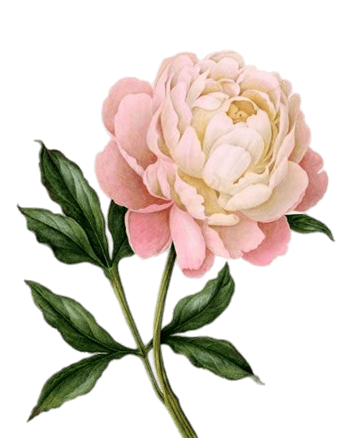 Drawing peony. Download free png pink