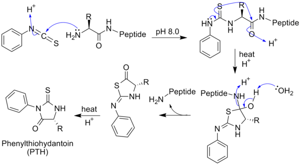 Drawing peptides amino acid. Edman degradation wikipedia with