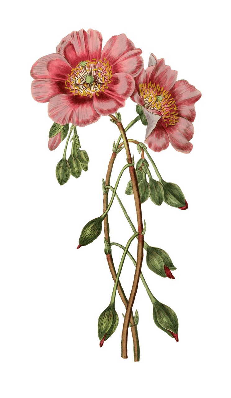 Drawing poppies. Transparent png stickpng nature