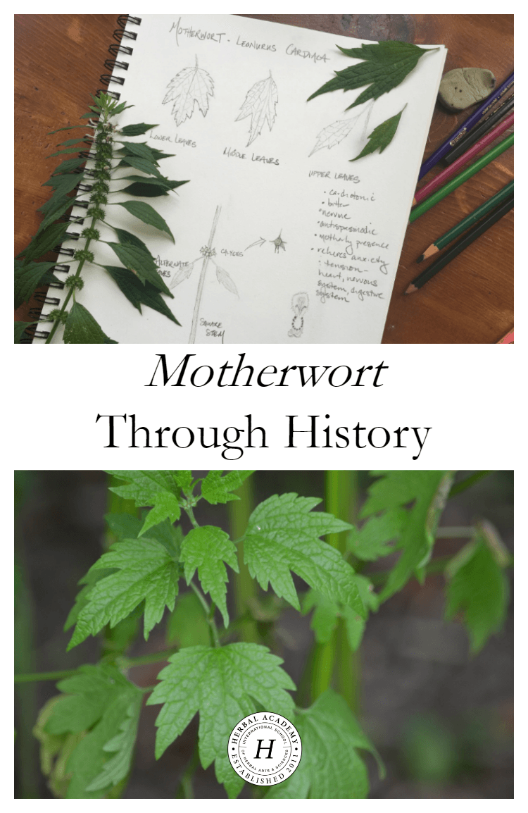 Drawing poultice herbal. Motherwort through history pinterest