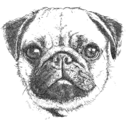 Drawing pug. Mops by plauwal spreadshirt