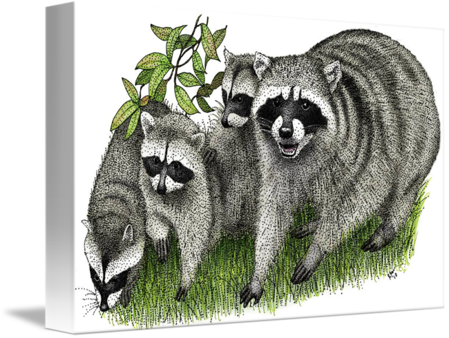 Drawing raccoon pen. Northern raccoons by roger