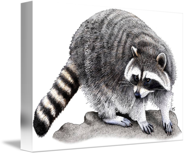 Drawing raccoon pen. Northern by roger hall