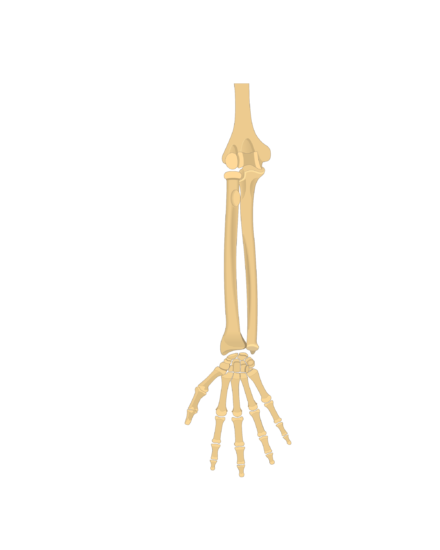 Transparent bone ulna. Radius and bones anatomy
