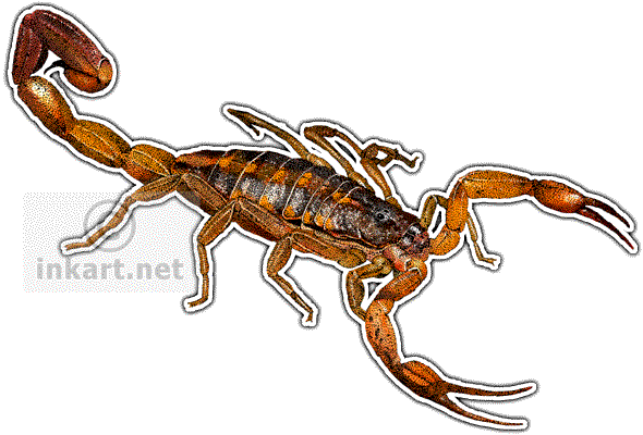 Drawing scorpion pen and ink. Hentz striped centruroides hentzi