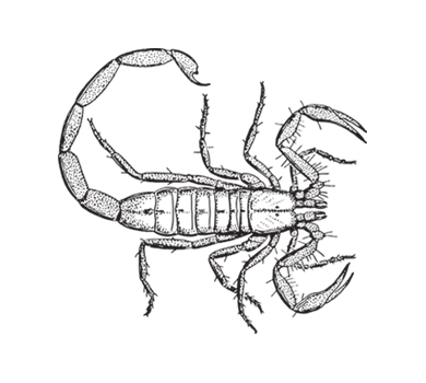 Drawing scorpions. Bark scorpion increase seal