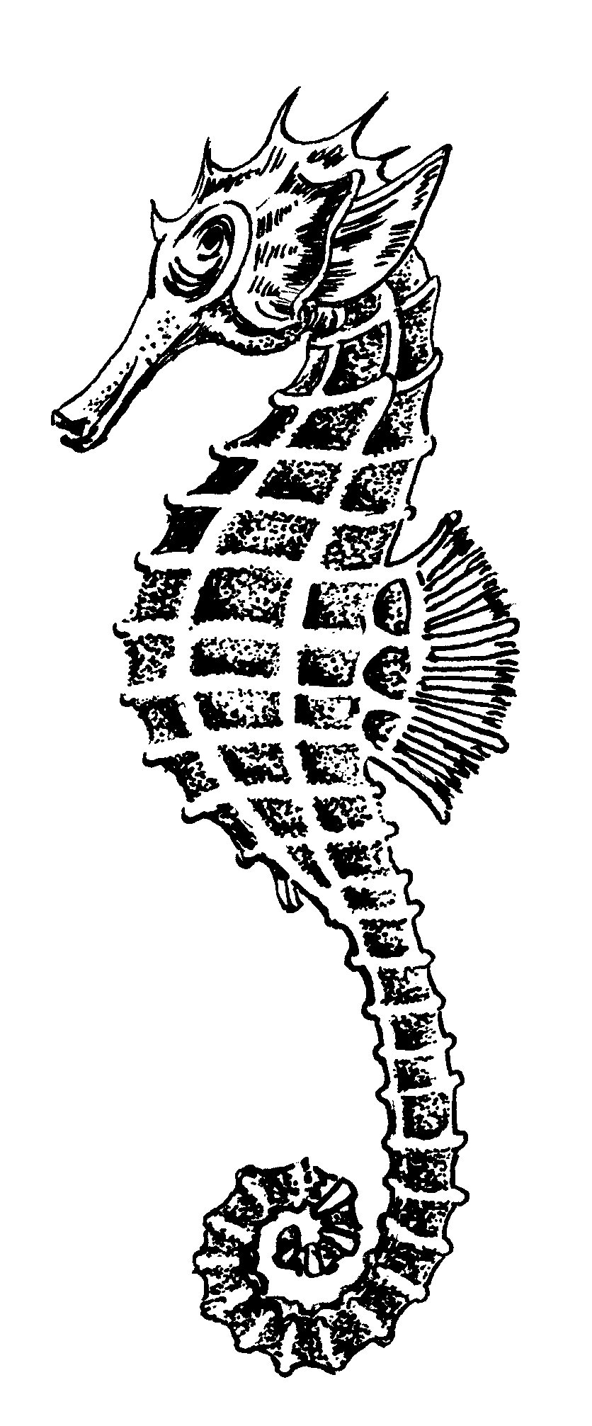 Drawing seahorse printable. Realistic at getdrawings com